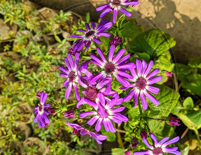Beautiful Fresh Pink Daisy Flowers With Green Leaves In A Garden