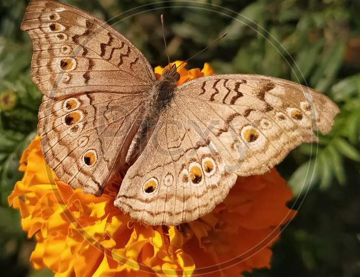 Butterfly helping in pollination