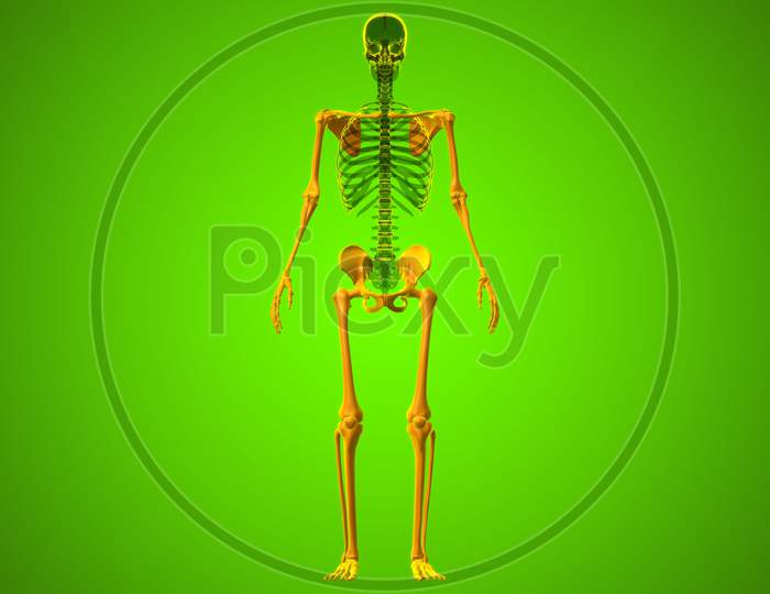 Human Skeleton Appendicular Skeleton Anatomy 3D