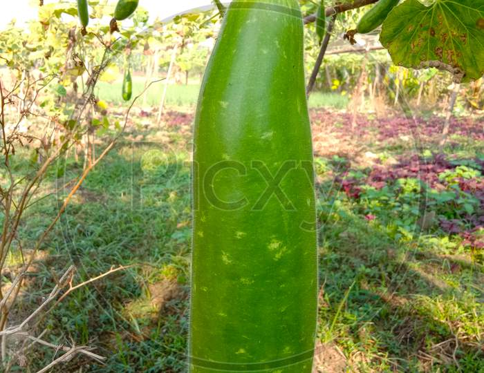 Bottle Gourd Closeup On Firm