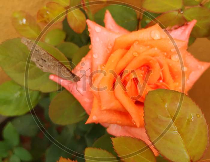 closeup of beautiful orange color rose and indian brown butterfly sitting on the flower.