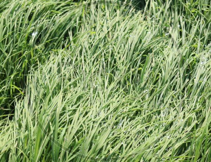Green Colored Paddy Firm For Harvest