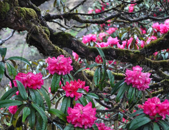 Bloomed Red Rhododendron