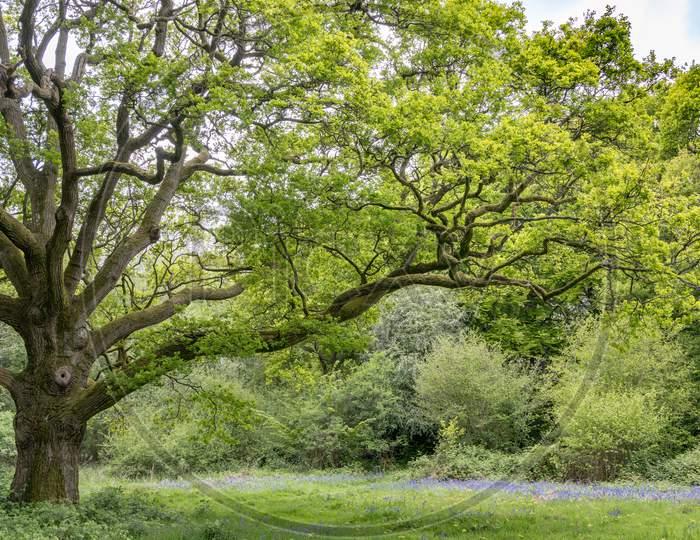An Old Oak Tree In Staffhurst Woods Near Oxted Surrey