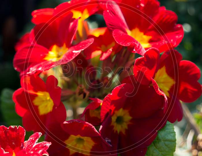 A Group Of Red Primroses Flowering In The Spring Sunshine