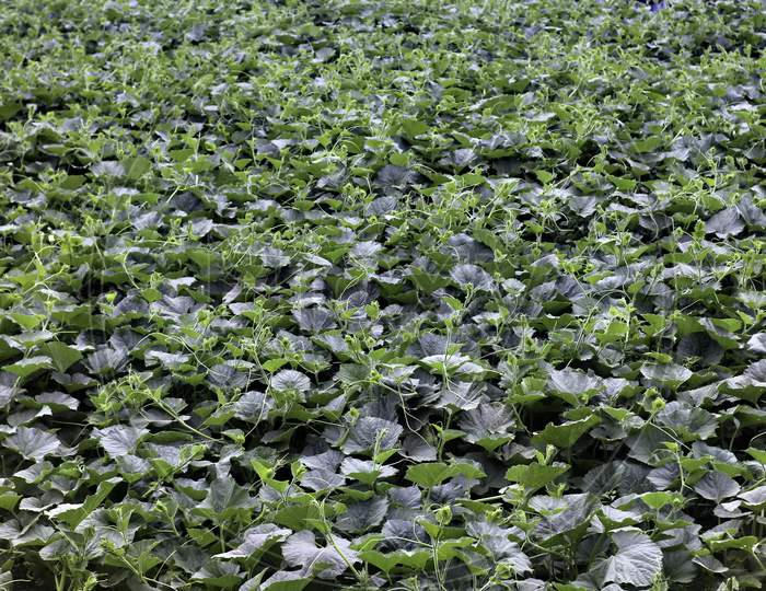 A Field Of Growing Pumpkin Plants In The Field. Background Texture Of Green Plant Agriculture Field.