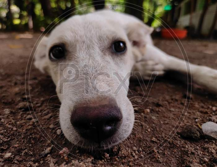 Eyes and nose of a white street dog