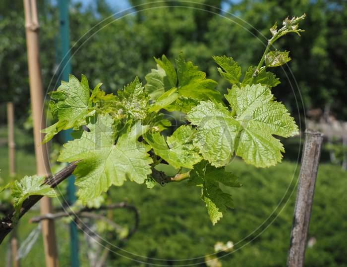 Vitis (Grapevine) Plant Leaves