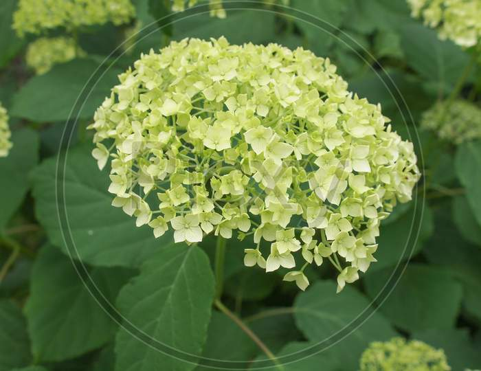 White Hortensia Flower