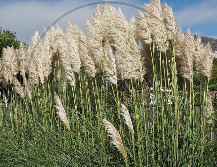 White Pampas Grass Flower
