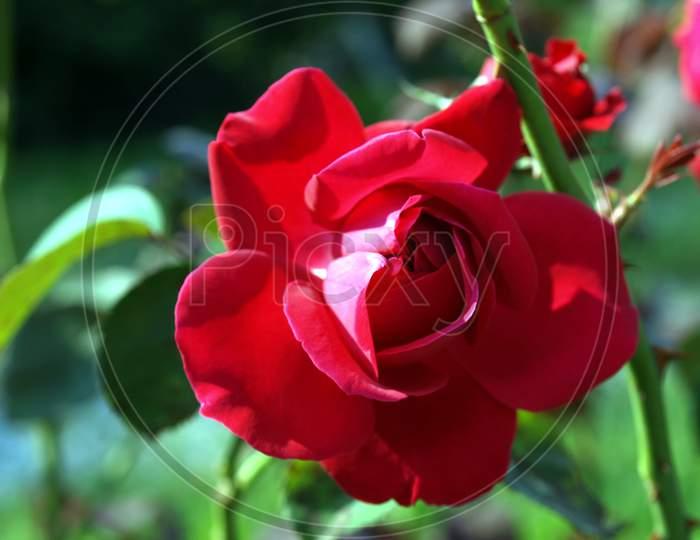 Rose Plant (Rosa) Red Flower