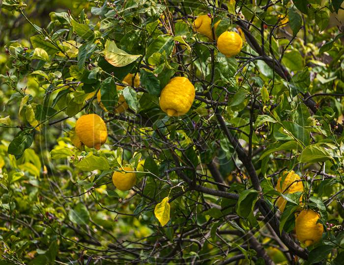 Close-Up Beautiful  Tree With Yellow  Large Lemon  Surrounded By Many Bright Green Leaves, Soft Focus