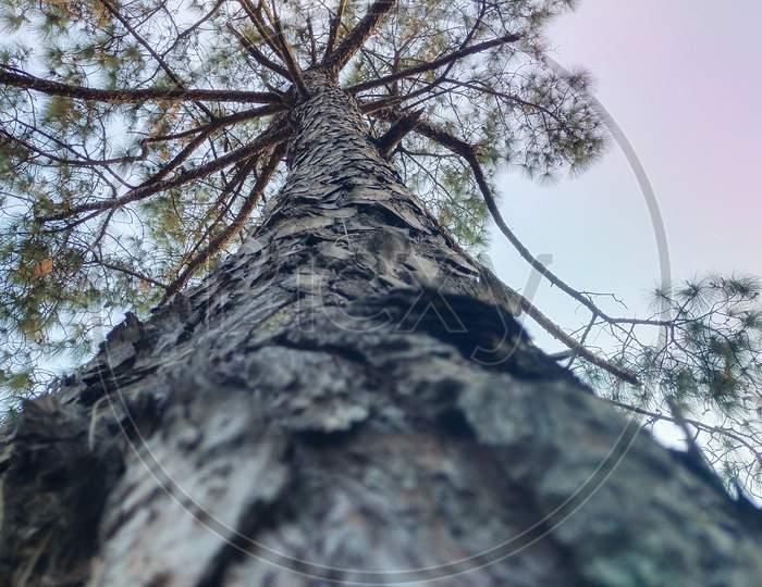 A long pine tree