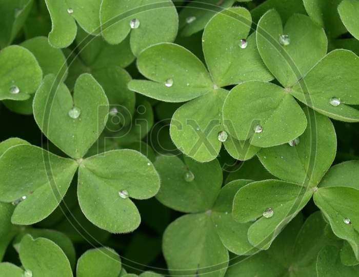 Shamrock Plant Leaves