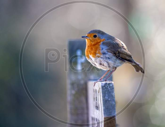 Close-Up Of An Alert Robin Standing On A Wooden Signpost