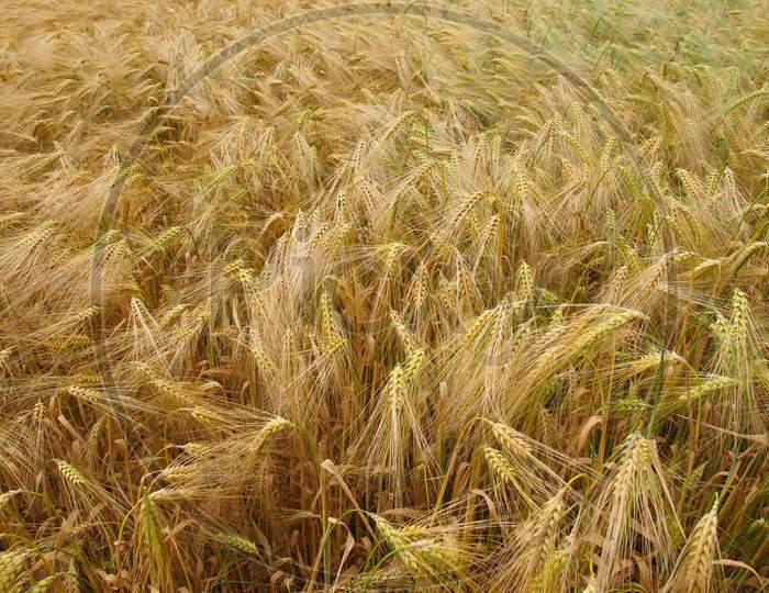 Barley Corn Field