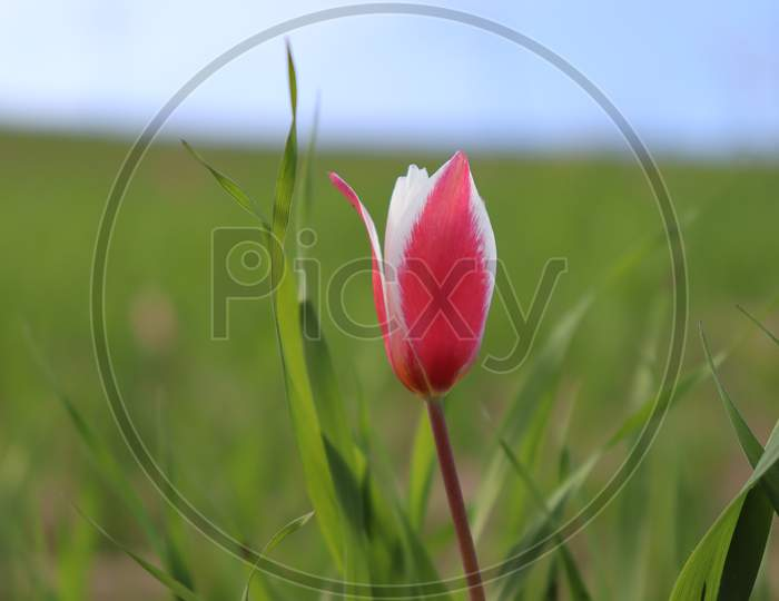 Tulip Blossom in Kashmir