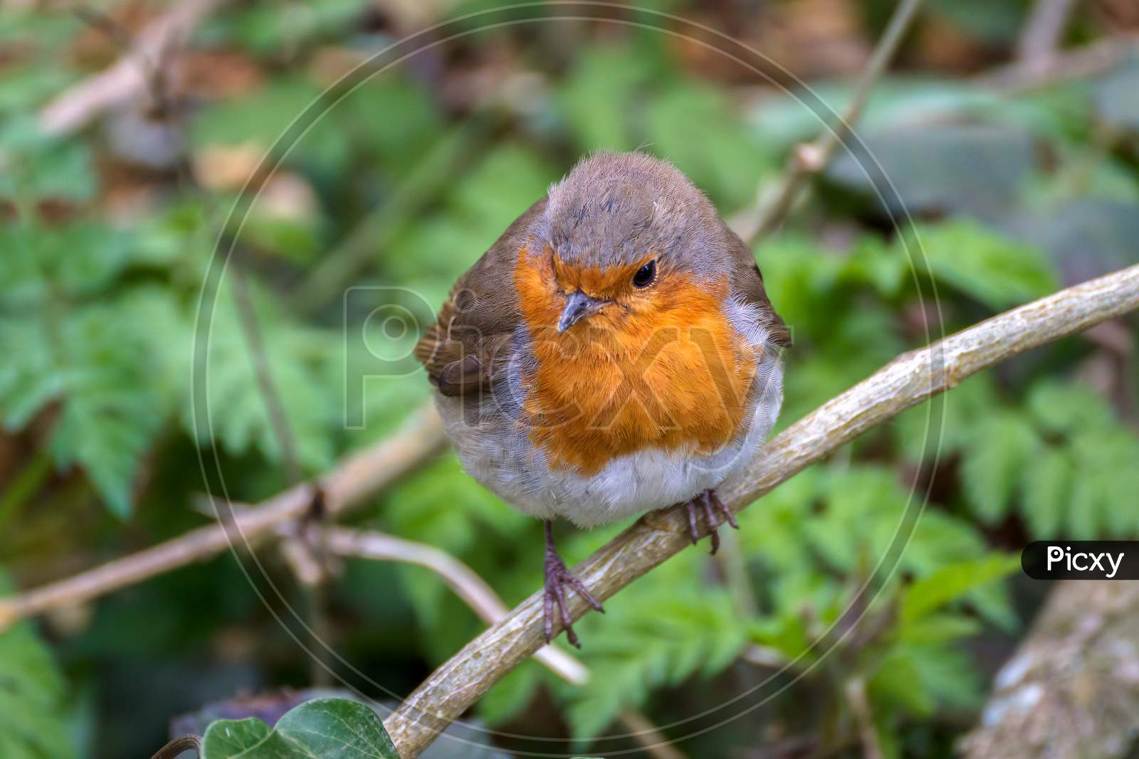 Robin Looking Alert In A Tree On A Cold Spring Day