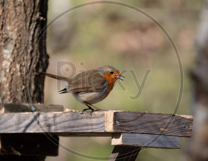 Close-Up Of An Alert Robin Standing On Wooden Table