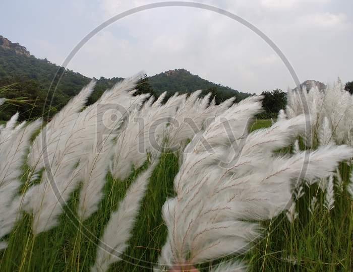 Saccharum spontaneum flowing toward wind