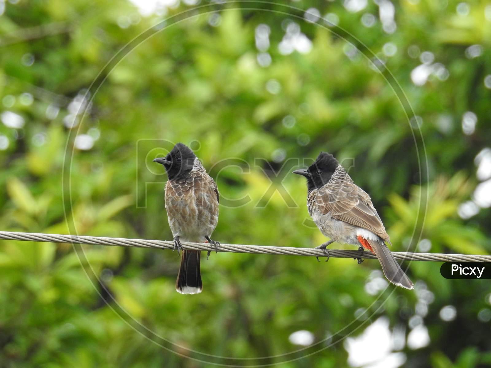 Bulbul pair