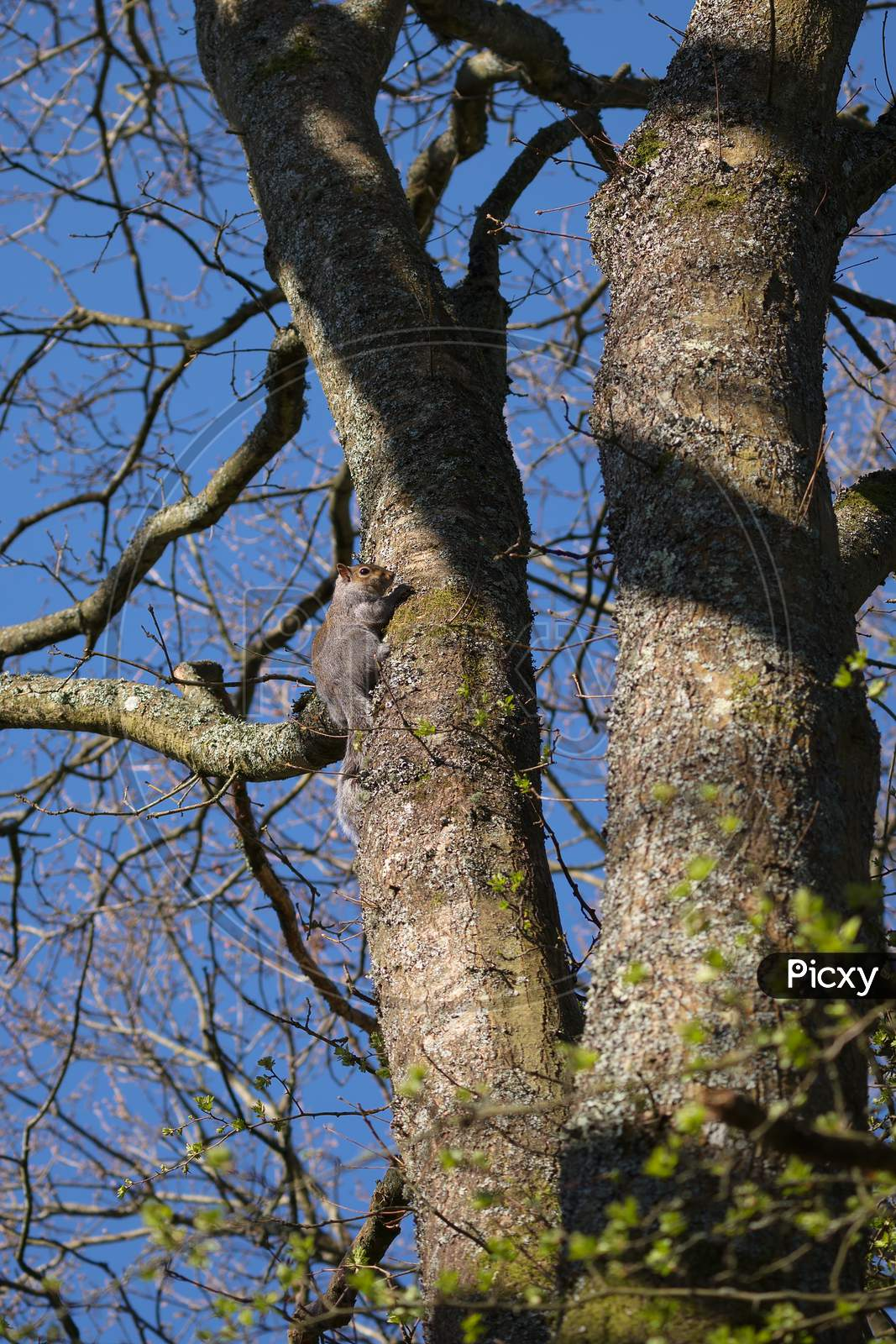 Grey Squirrel (Sciurus Carolinensis)  Watching From A Tree