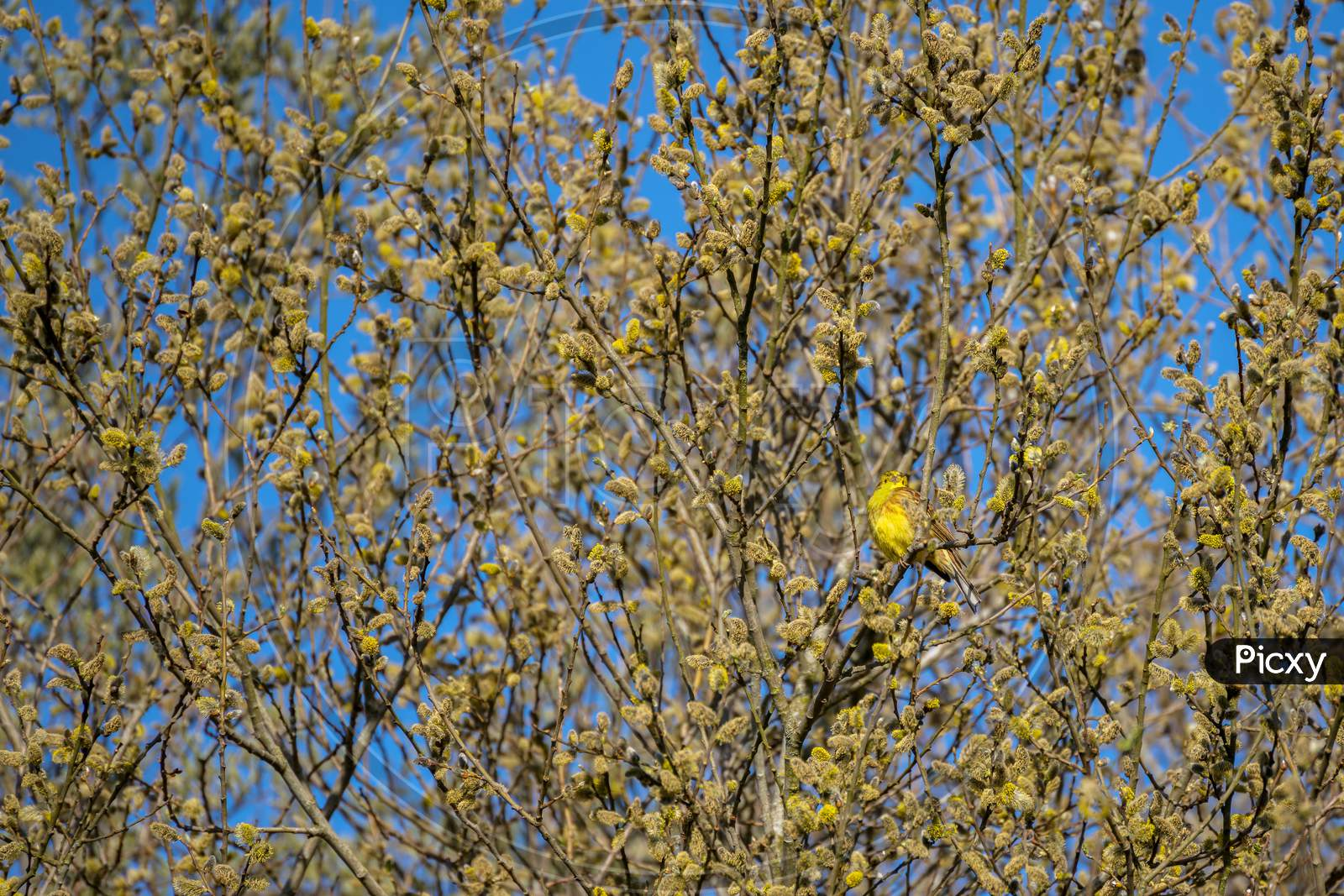 Yellowhammer (Emberiza Citrinella) Enjoying The Spring Sunshine