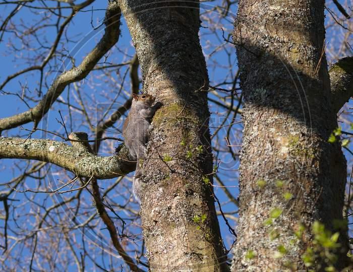 Grey Squirrel (Sciurus Carolinensis)  Watching From A Tree