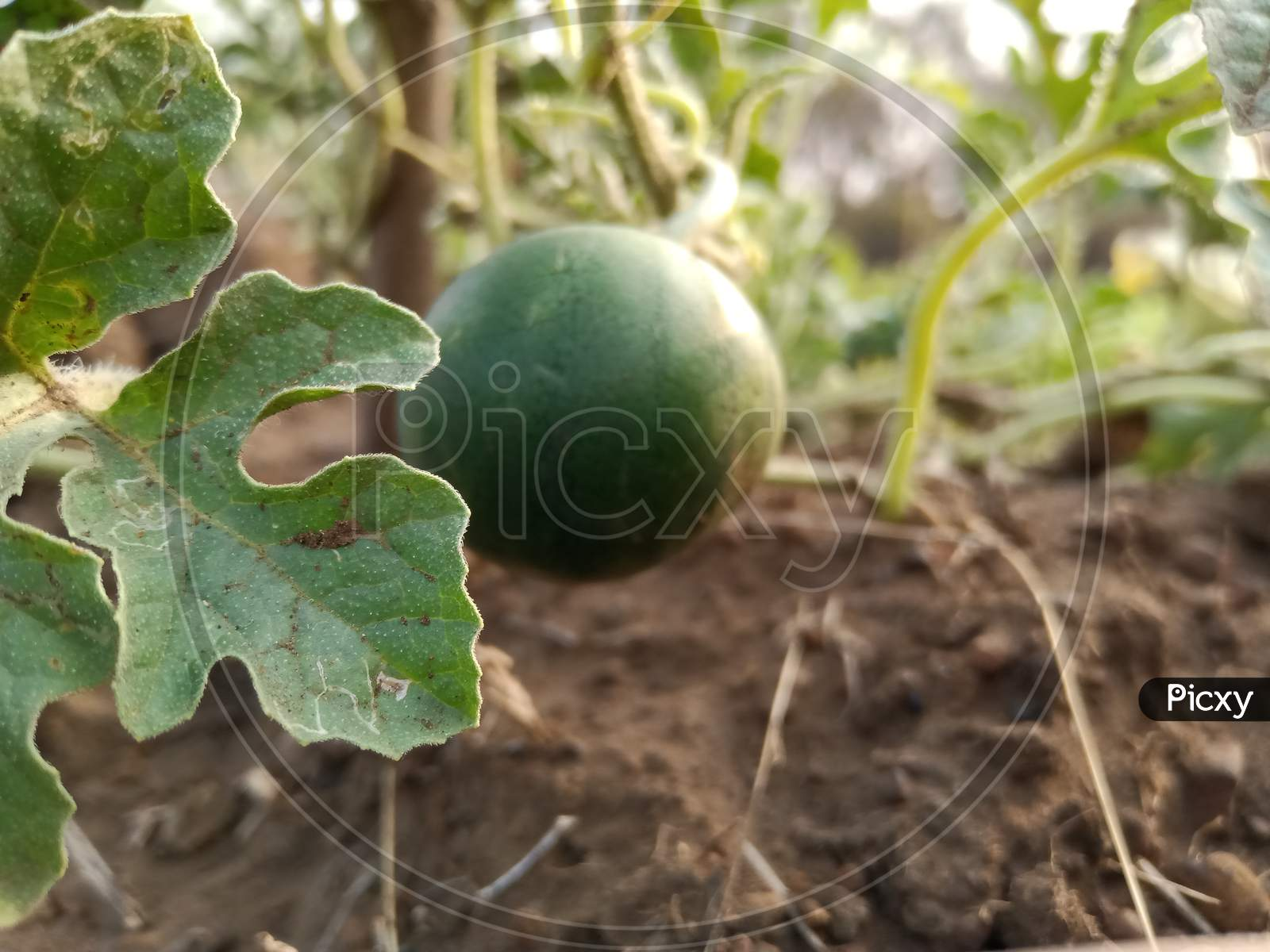Watermelons are starting to grow in the fields