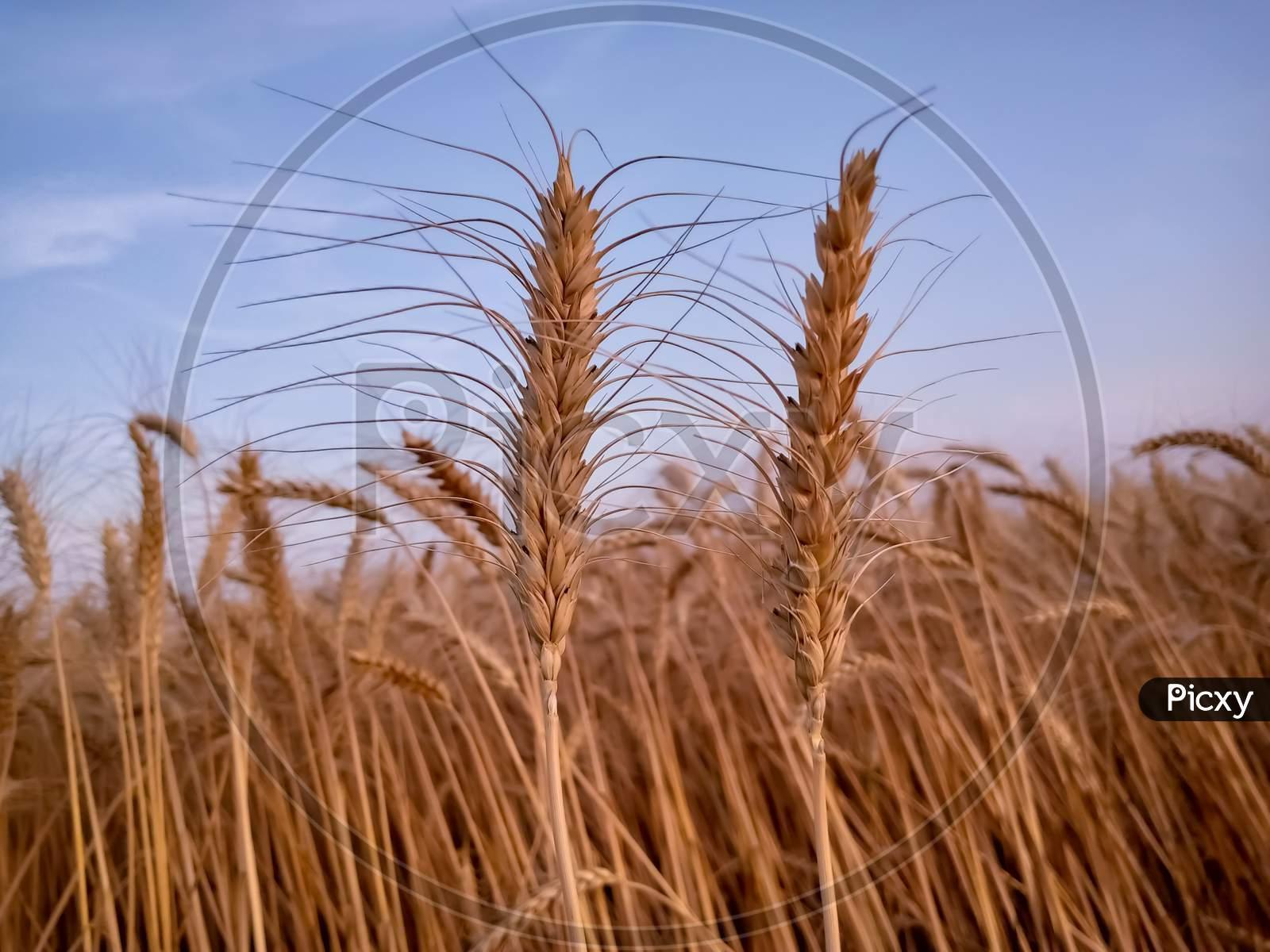Ears Of Wheat On Sky