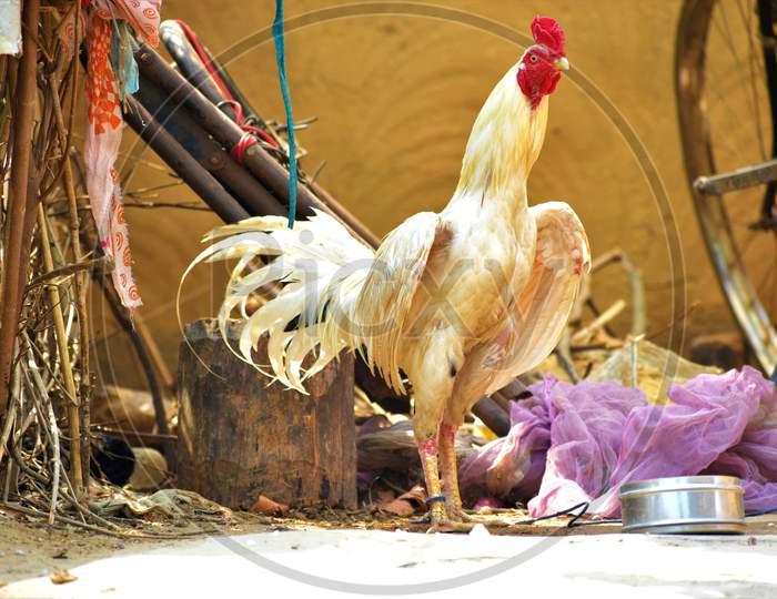 chicken, poultry bird