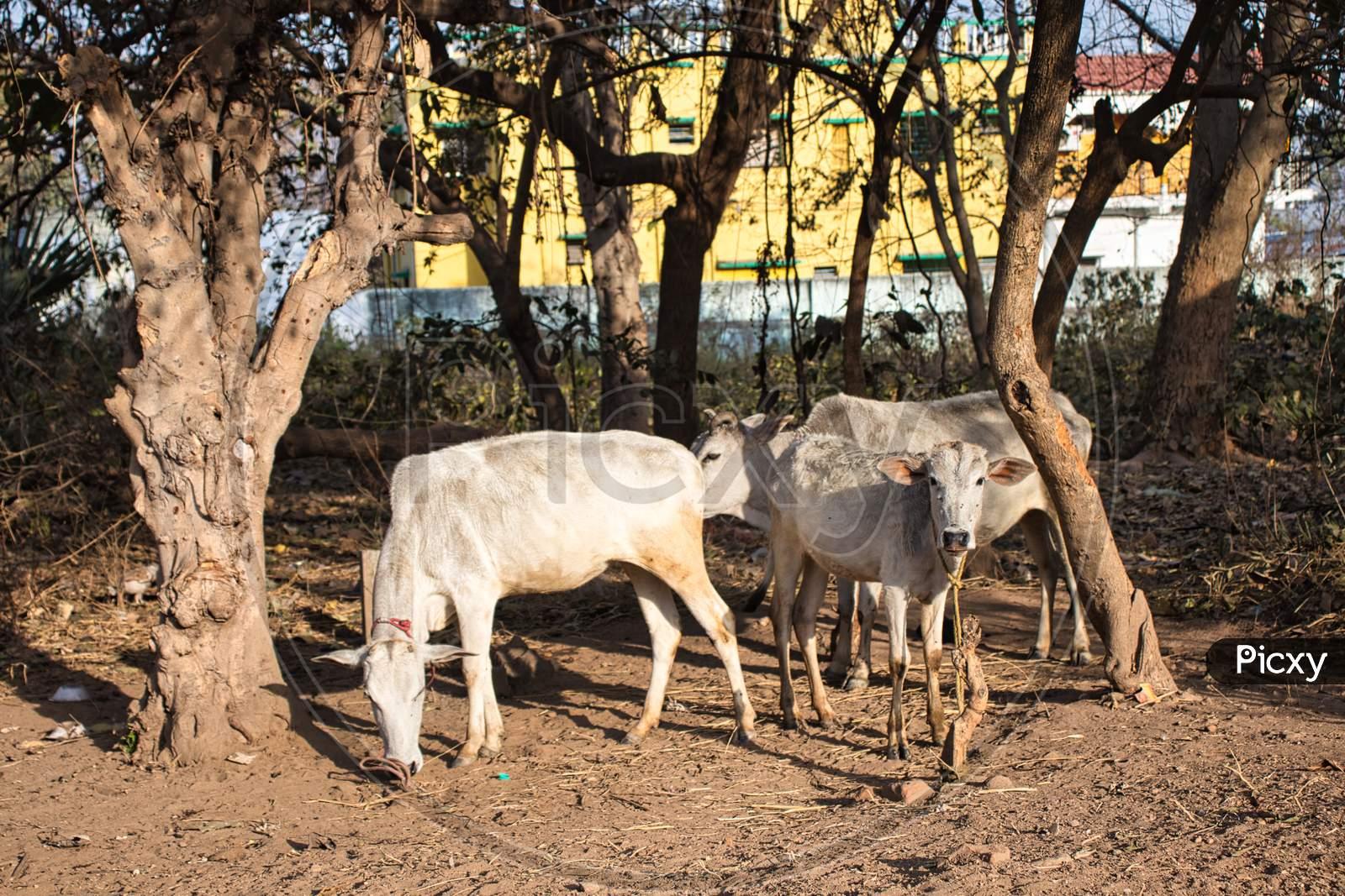 Pet animals in village