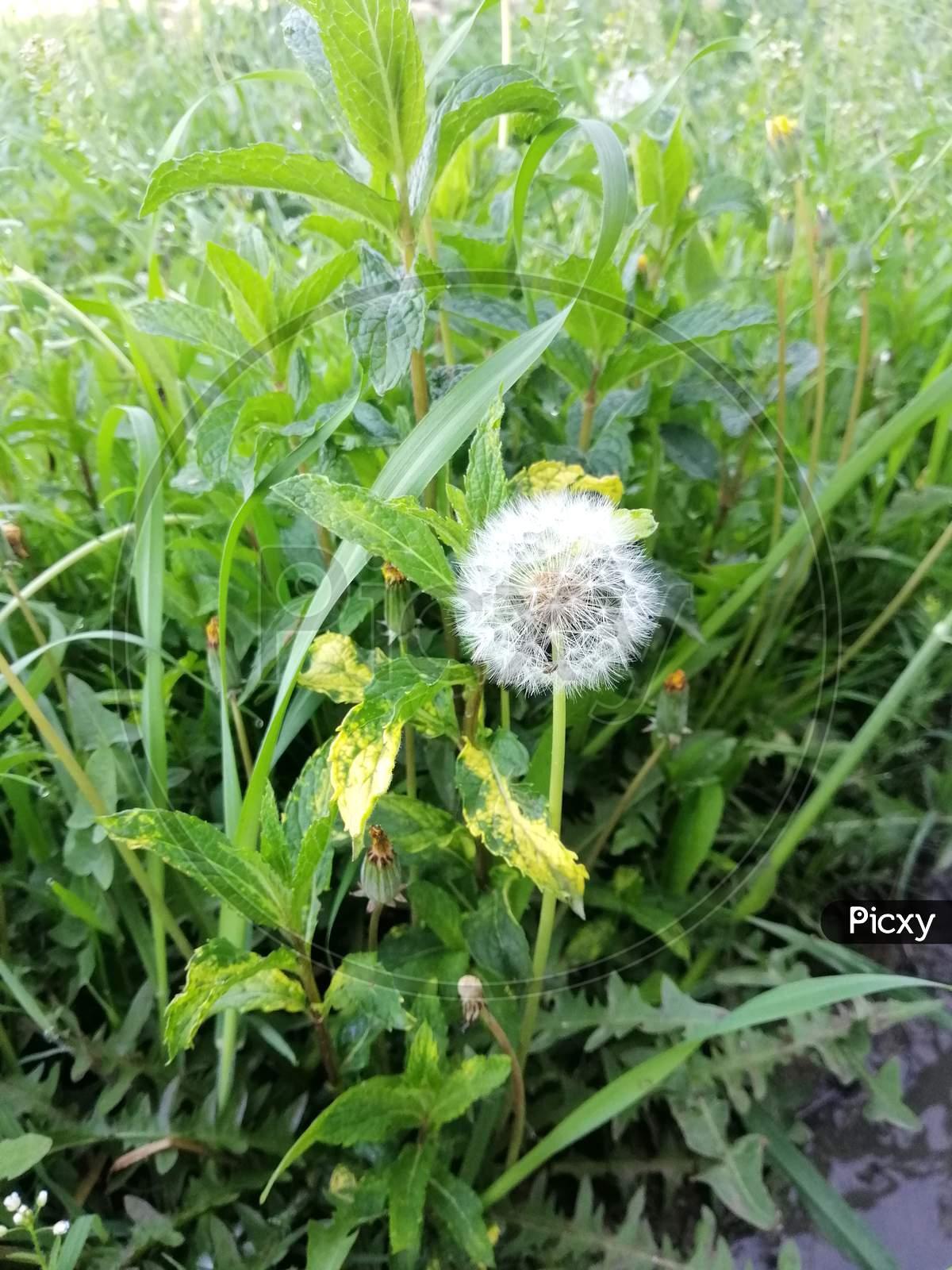 Botany Dandelion