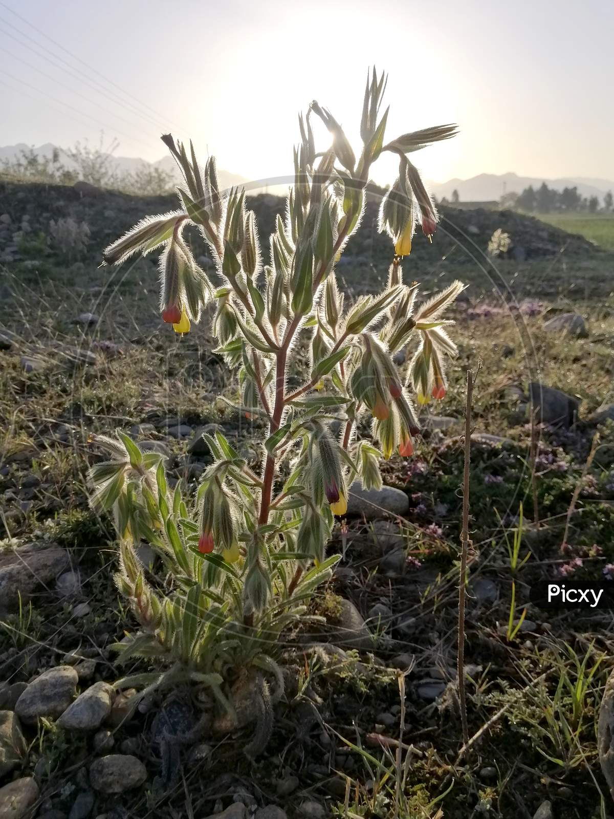 Botany herbaceous Plant
