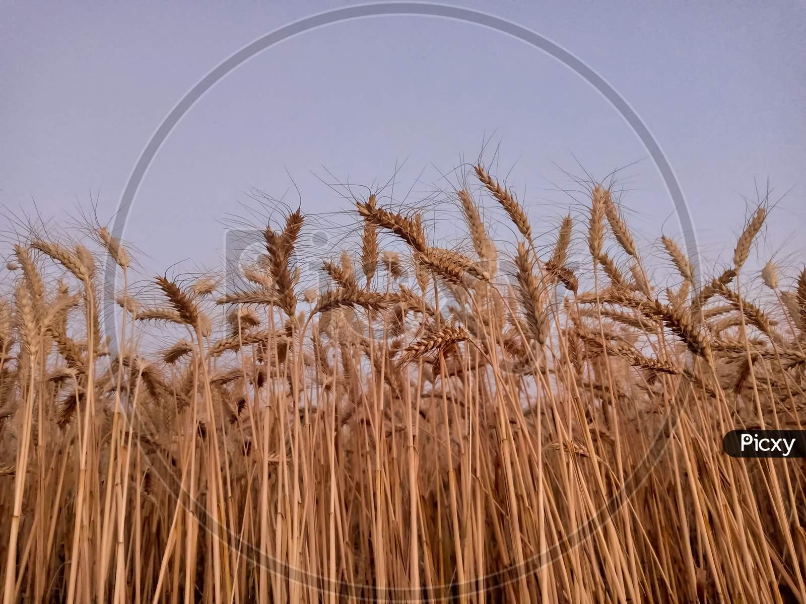 Ears Of Wheat On Blue Sky..