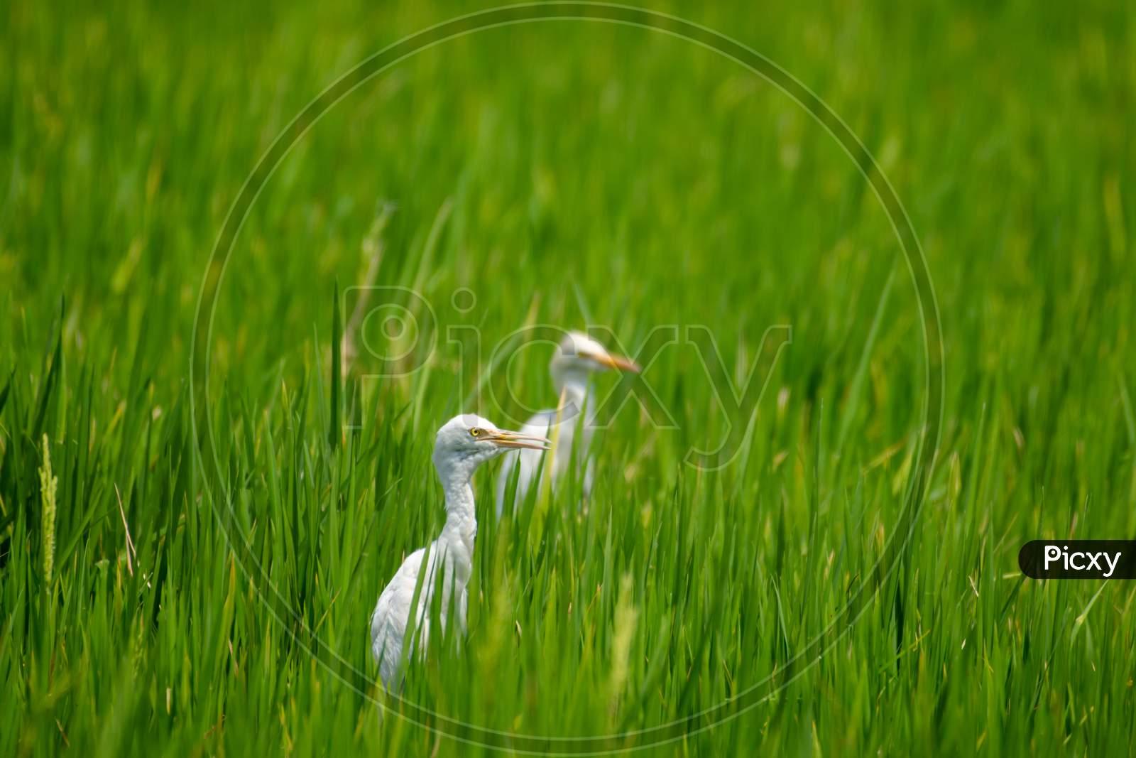 Great egret bird in the field