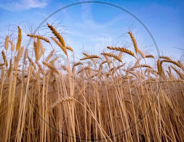 Ears Of Wheat Against Sky