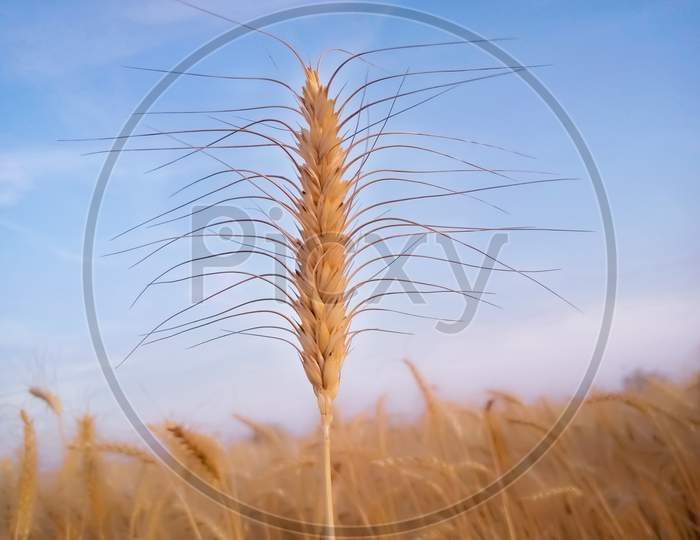 Ears Of Wheat On Blue Sky Background