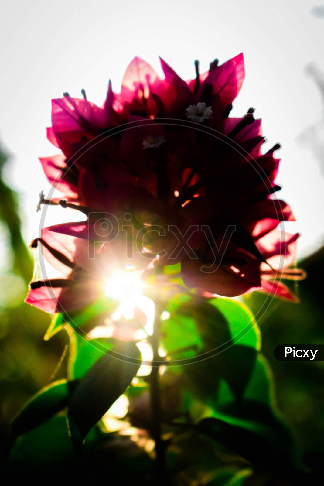 Bougainvillea Flowers With Green Leaves And Sun Rays
