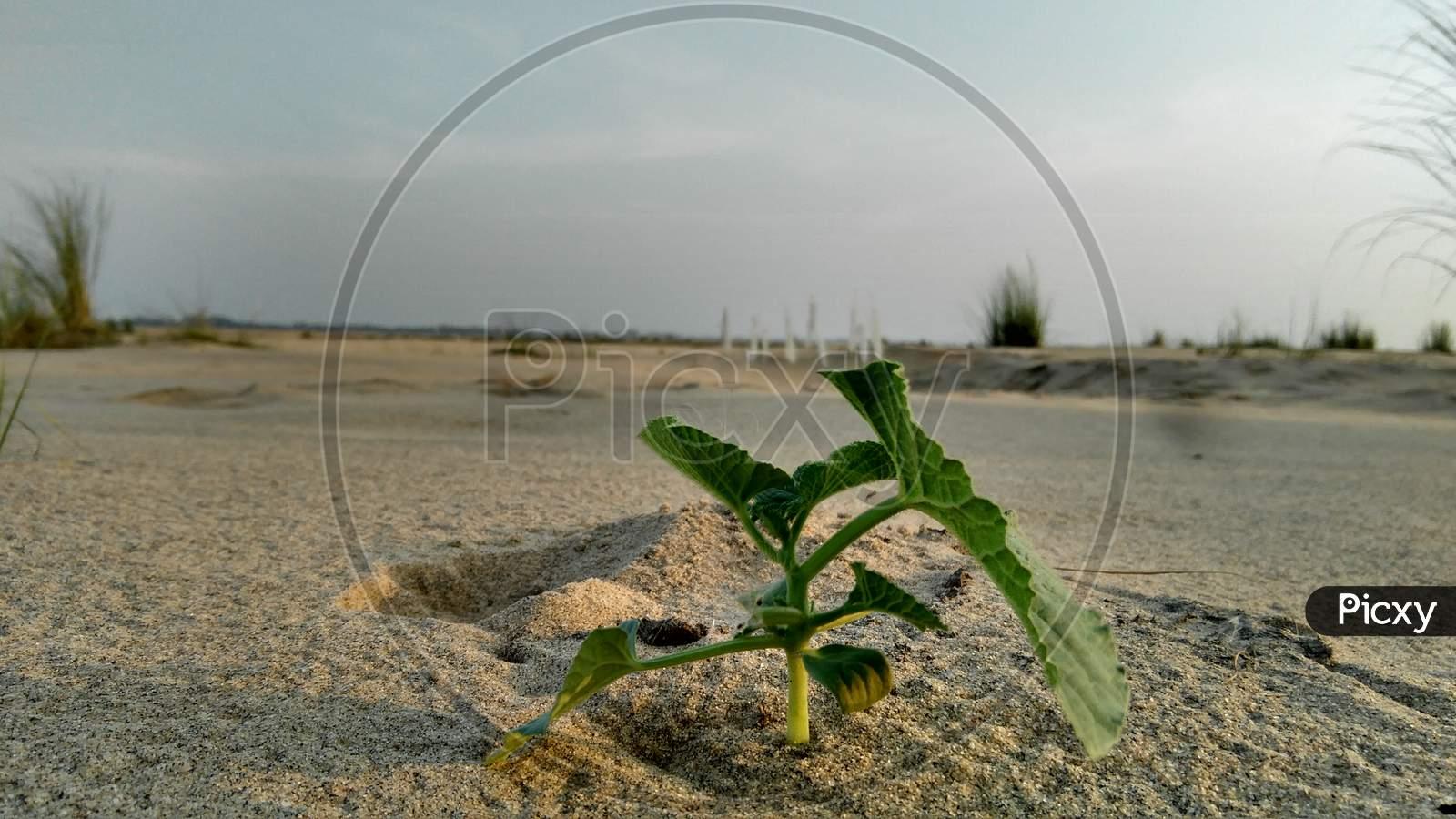 water melon plant