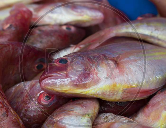 Northern Red Snapper Fish Close Up Shot