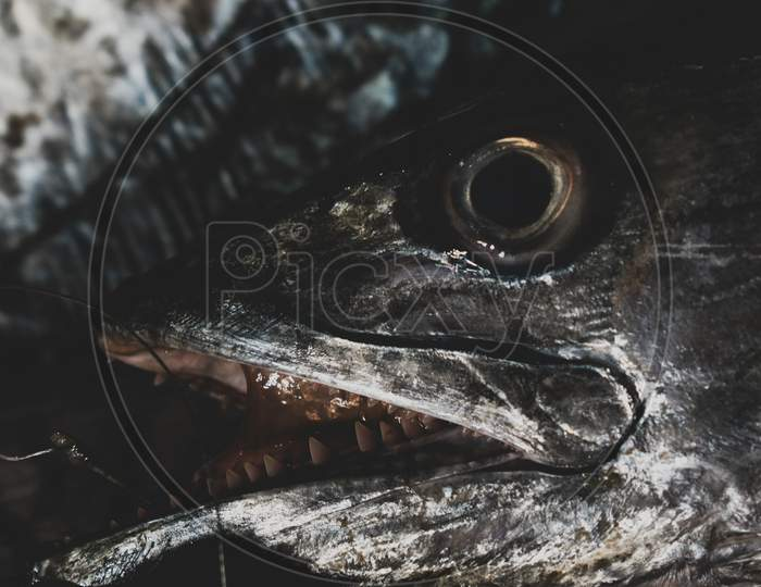 Close Up Shot Of Spanish Mackerel Head With Eyes And Sharp Tooth.