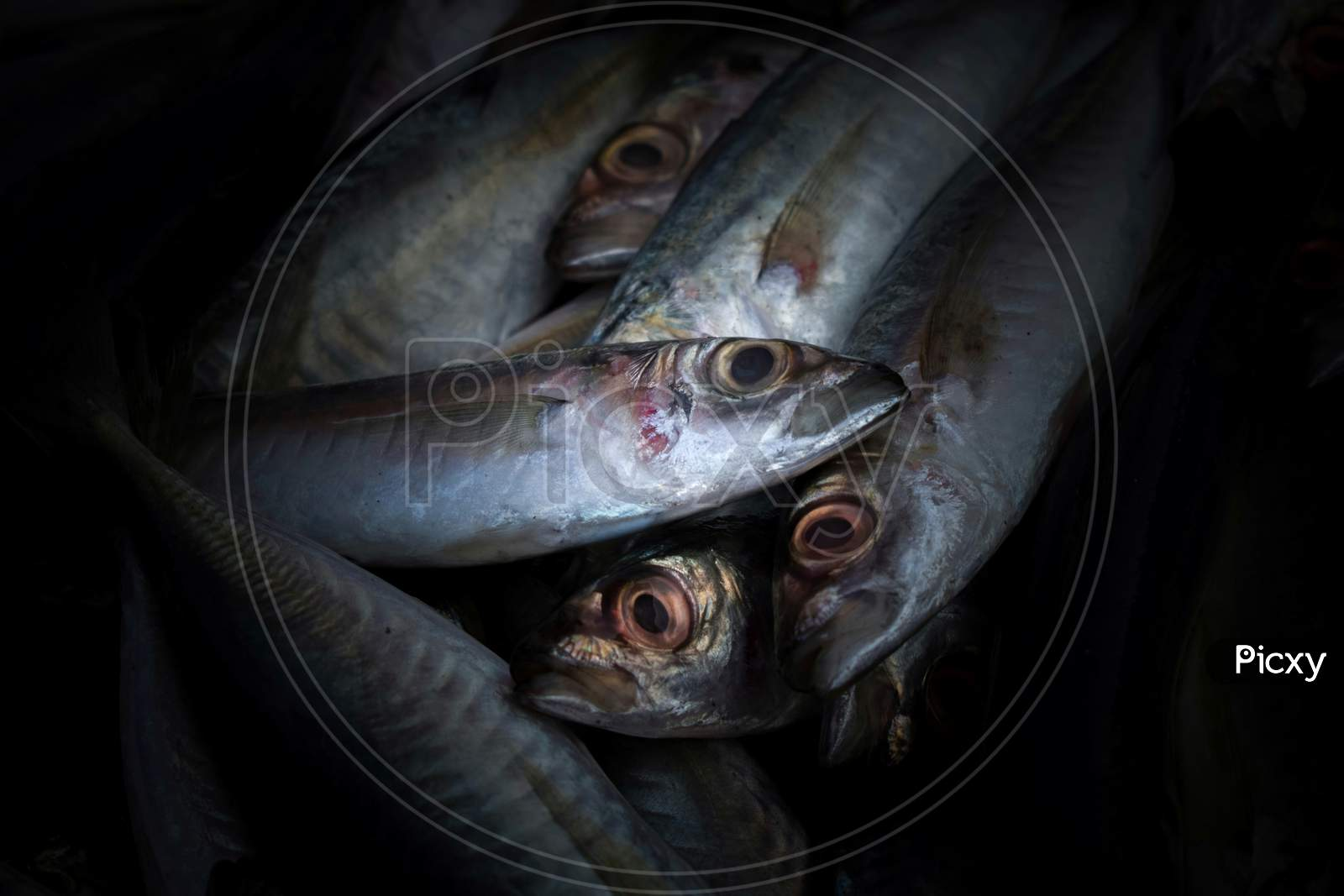 Close Up Shot Of Indian Mackerel Fish With Shallow Depth Of Field.