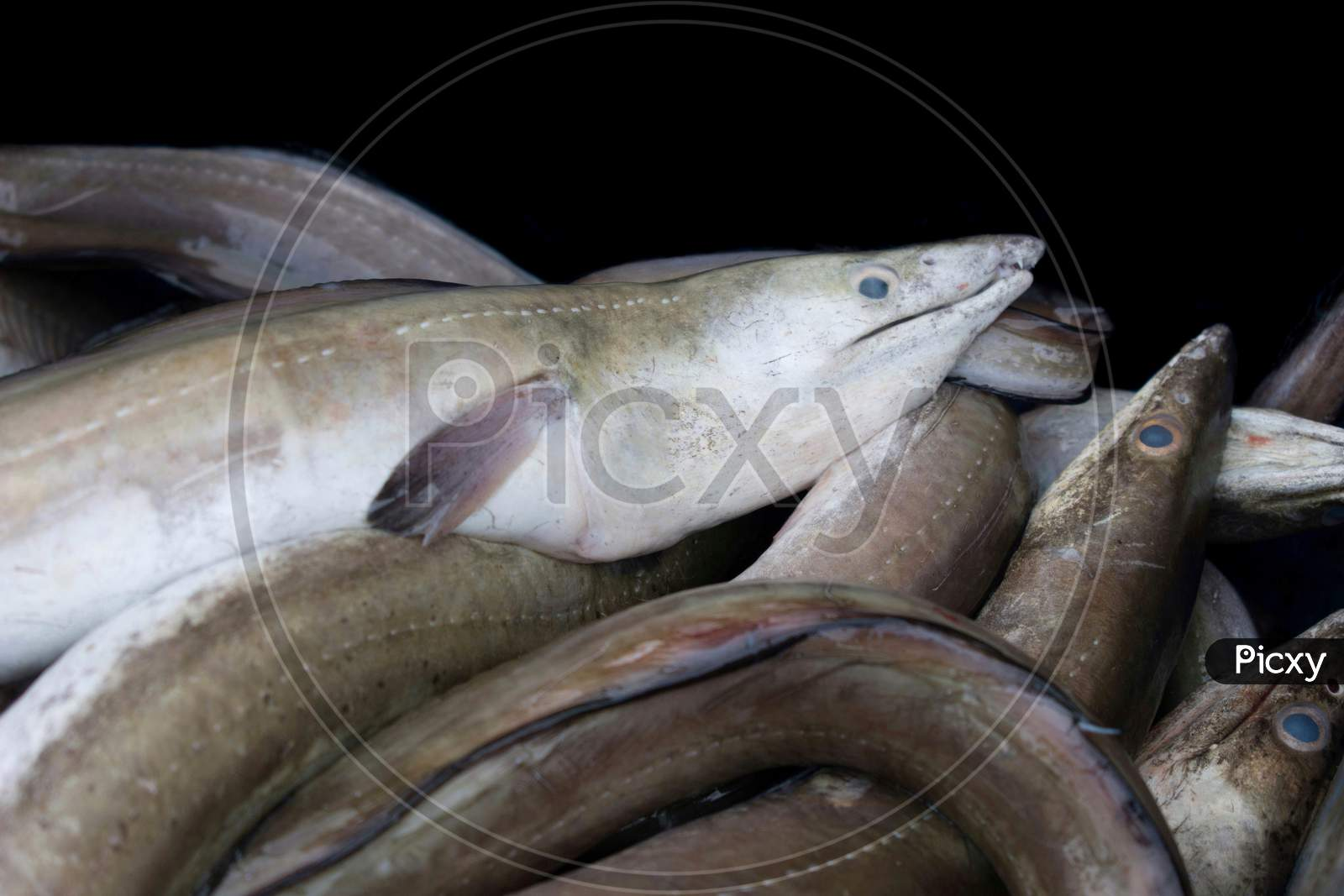 Collection Of Conger Eels Isolated On Black.