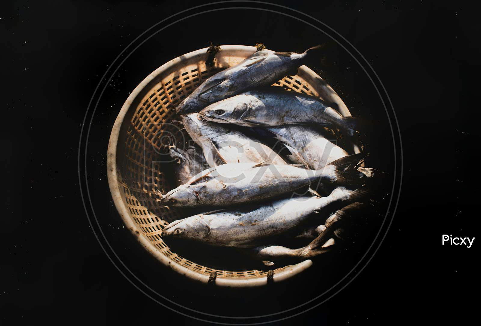 Group Of Silver Catfish In A Fish Container Isolated On Black.