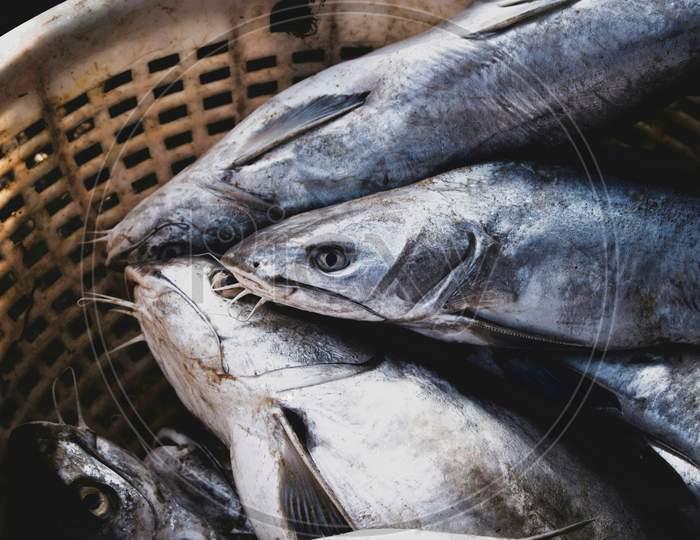 Close-Up Shot Of Group Of Silver Catfish.