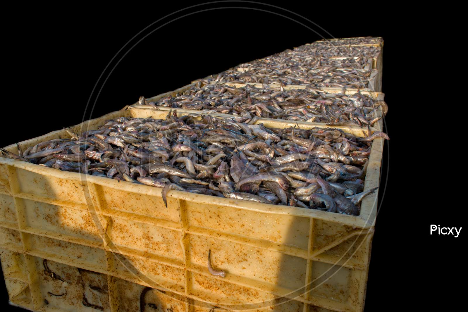 Collection Of Large Quantity Of Fish In The Fish Containers Ready To Export Isolated On Black.