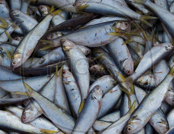 Collection Of Fresh Sardine Fish For Sale In The Fishmarket.