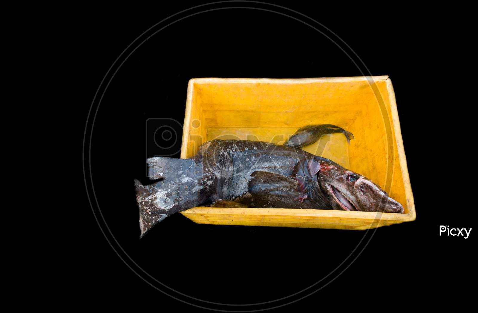 Deep Sea Fish Kept On A Crate Isolated On Black.