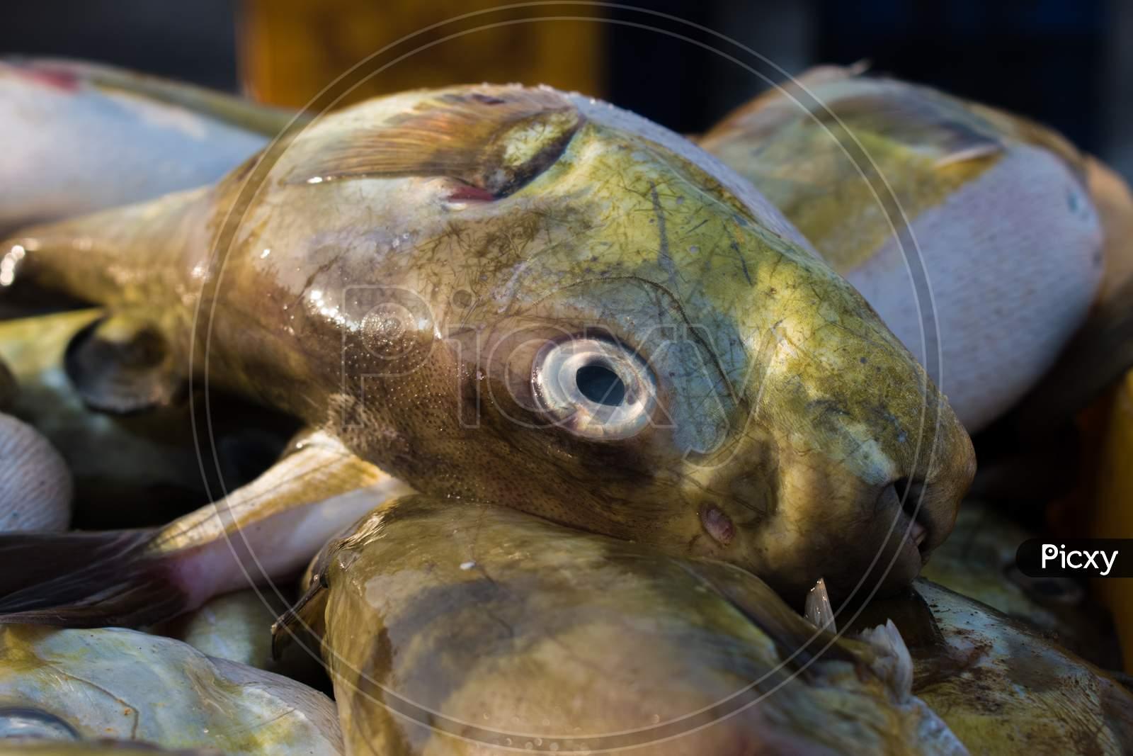 Smoothback Pufferfish (Lagocephalus Inermis) For Sale In The Fish Market In Mangalore Harbour, Karnataka.